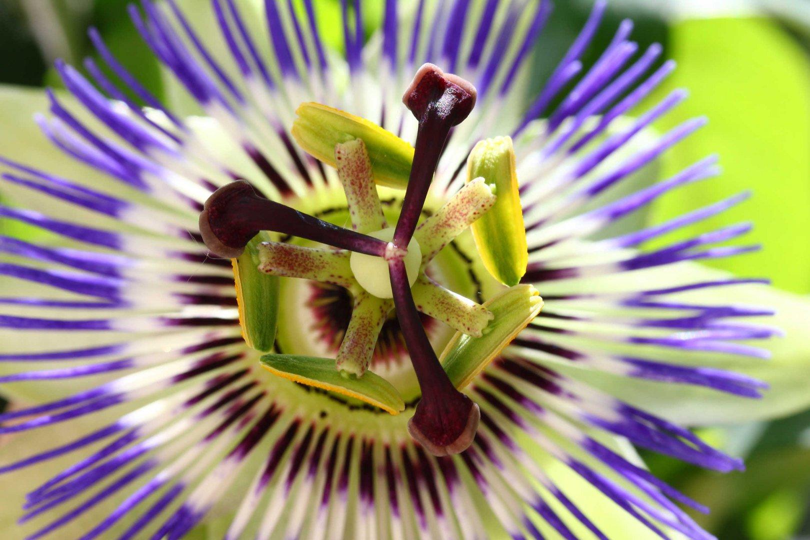 Passionsblume - ein Wunderwerk der Natur ...