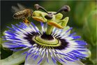 Passionsblume mit Biene im Anflug