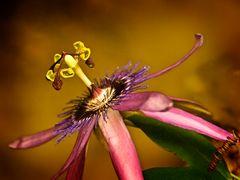 Passionsblume (Sinnliche Blüten 2010)
