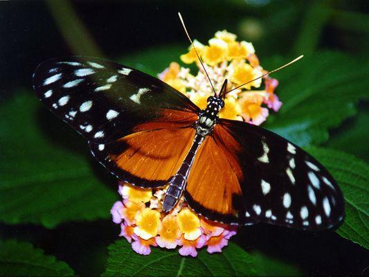 Passionsblumen-Falter (Heliconius hecale)