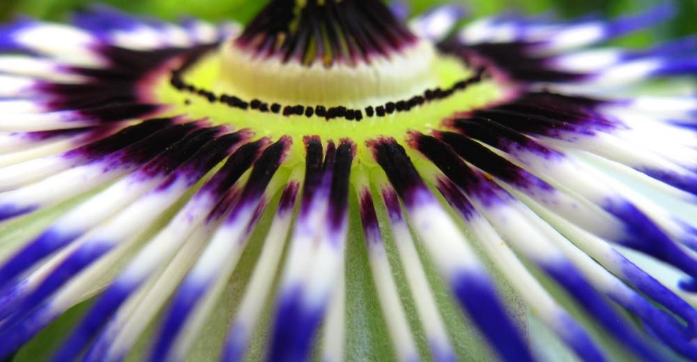 Passionsblumen Macrodetail.