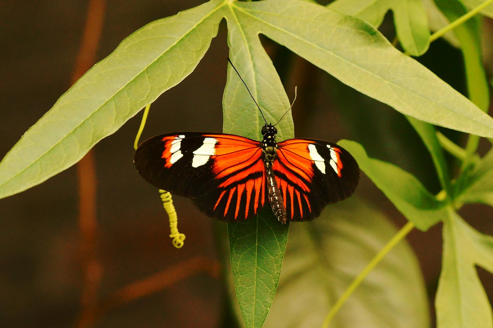 Passionsblumenfalter (heliconius melpomene)