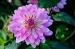 Pastel  Lady - 0732 -