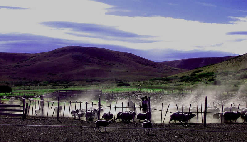 Patagonian Sheep