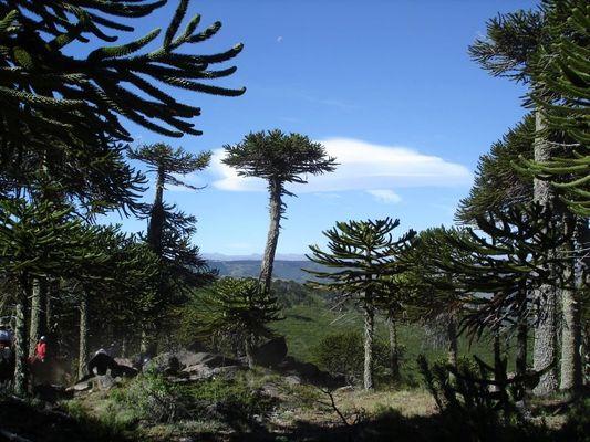 Patagoniens Dinosaurier der Bäume