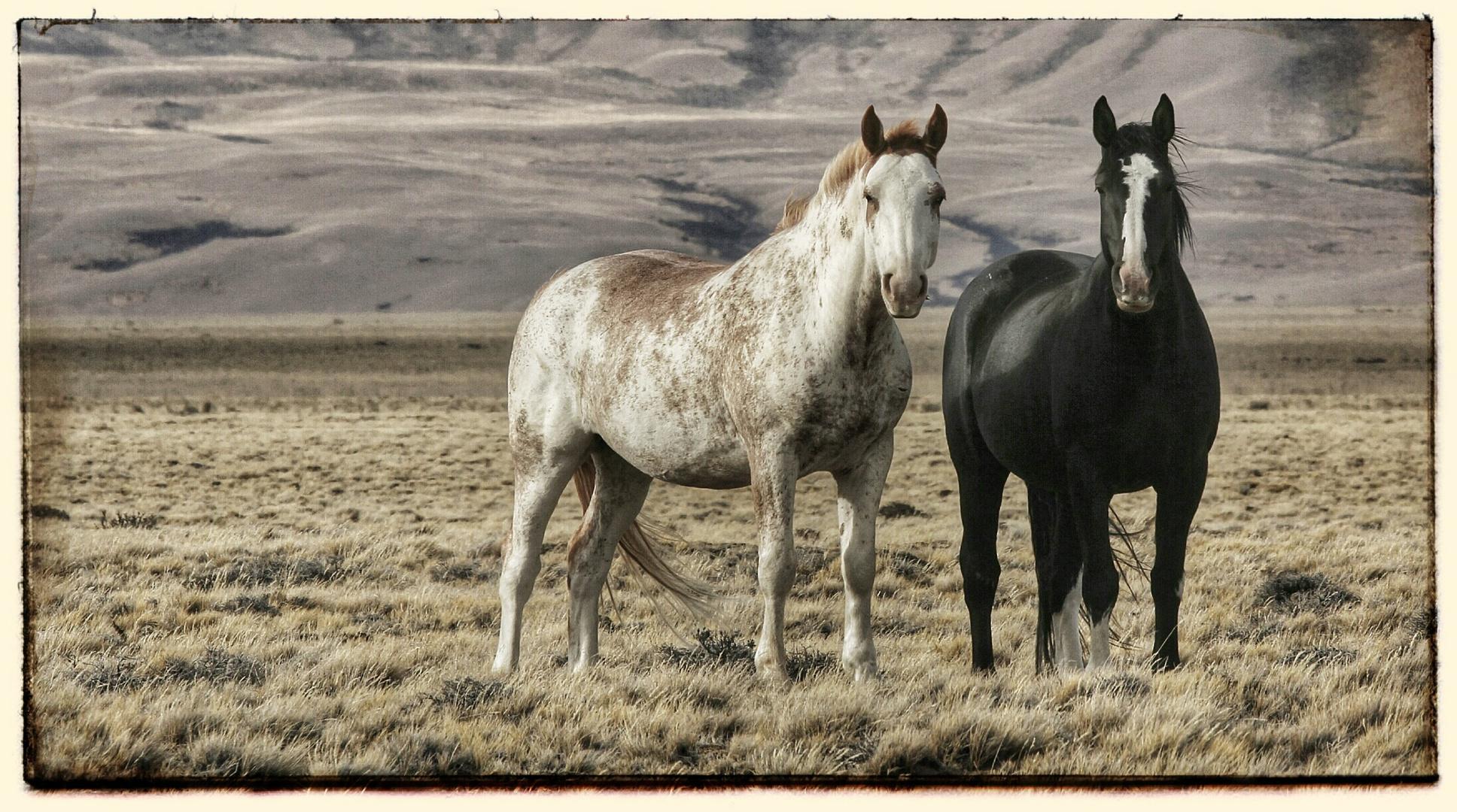 Patagonische Pferde