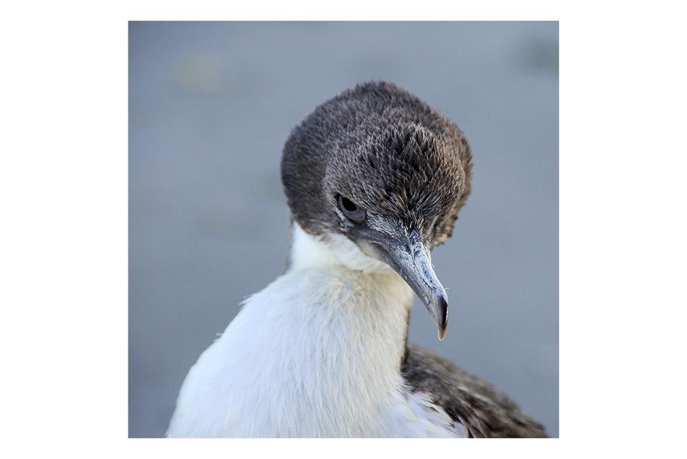 patagonische Strandvögel II - Argwohn
