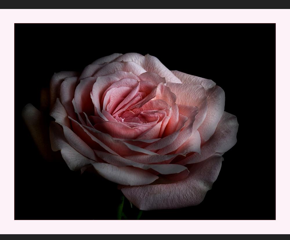 Patiorose.....small rose ...... -  Es ist eine Ferne....