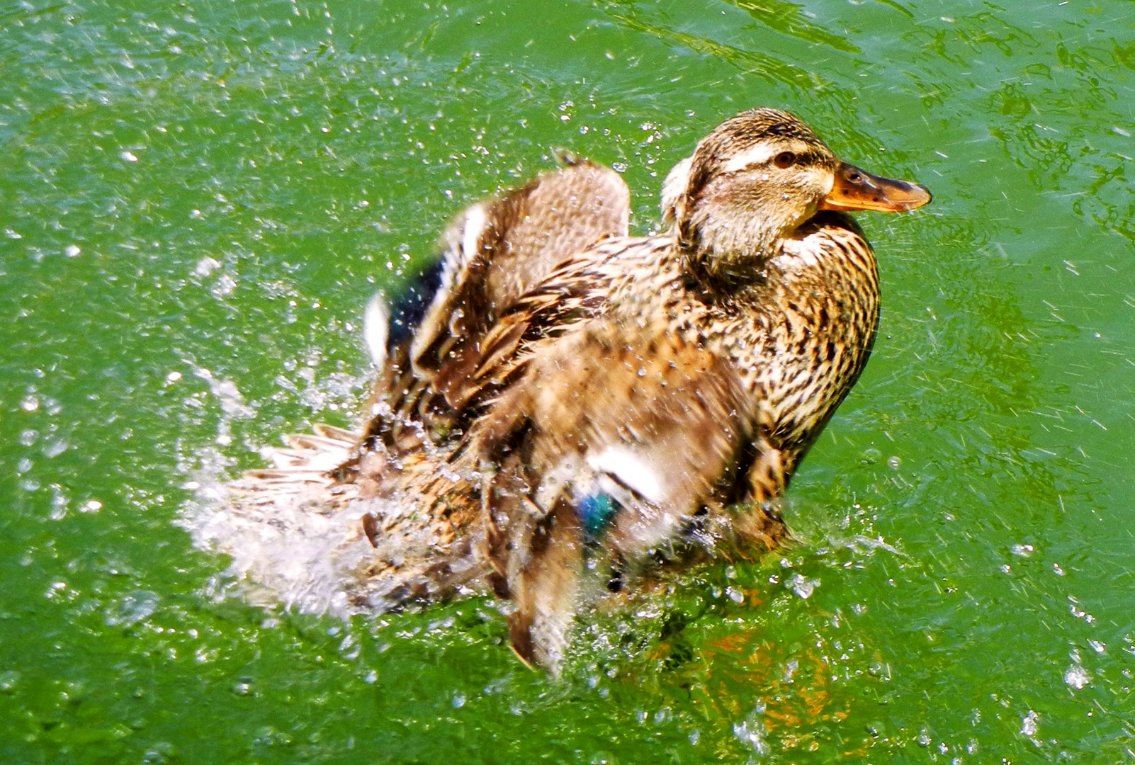 Pato al agua