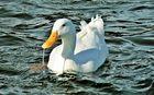Pato Duck....