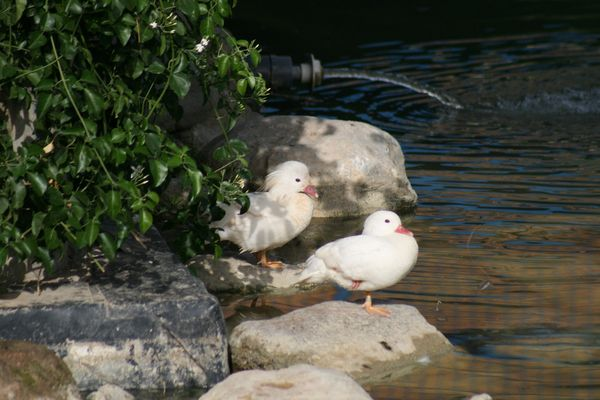 pato mandarin blanco