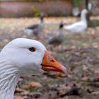 Patos 02