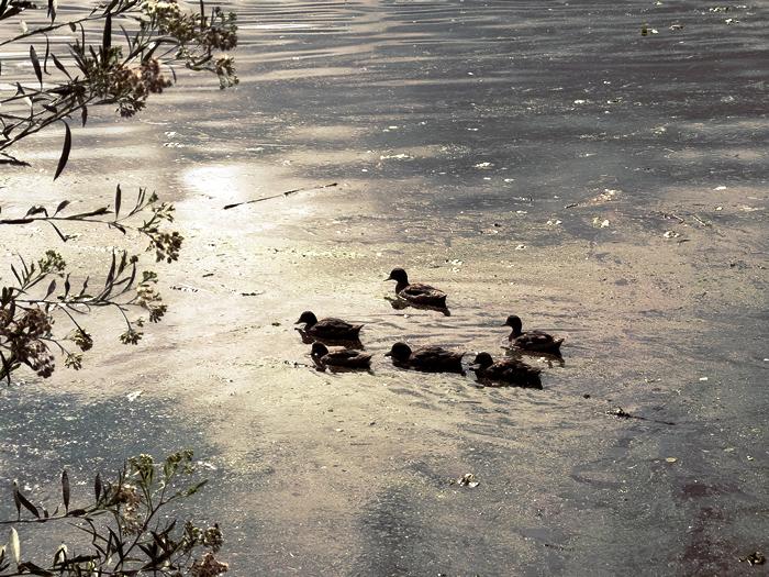 Patos En el Dique San Roque