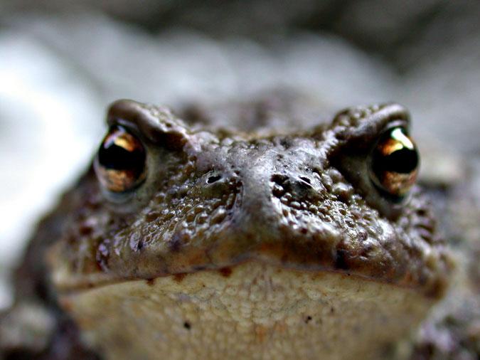 Paul der Frosch