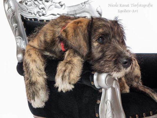 Paula, Irish Wolfhound 11 Wochen alt