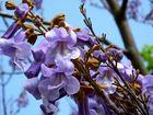 Paulownia tomentosa, Blauglockenbaum(Kaiserbaum, Kaiserpaulownie, Kiri-Baum)