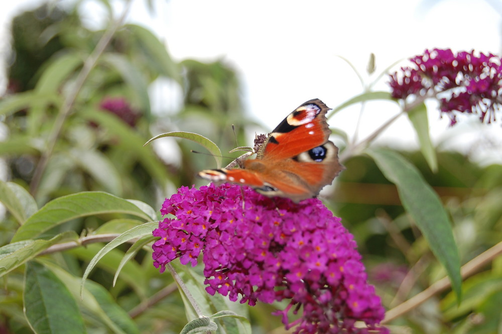 pause du papillon