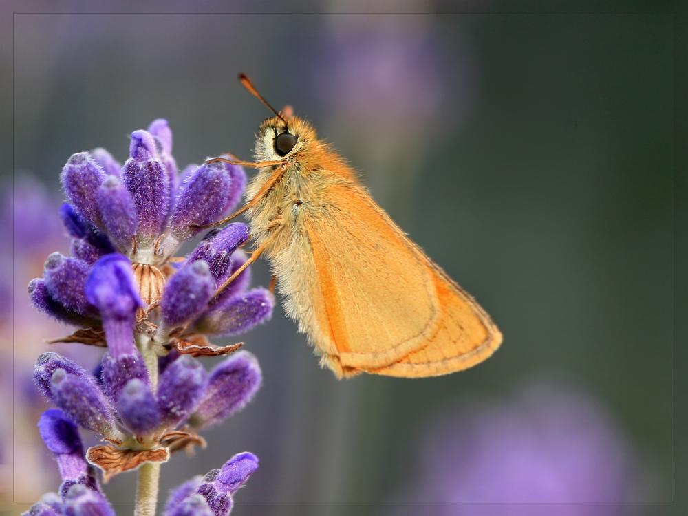 - Pause im Lavendel -