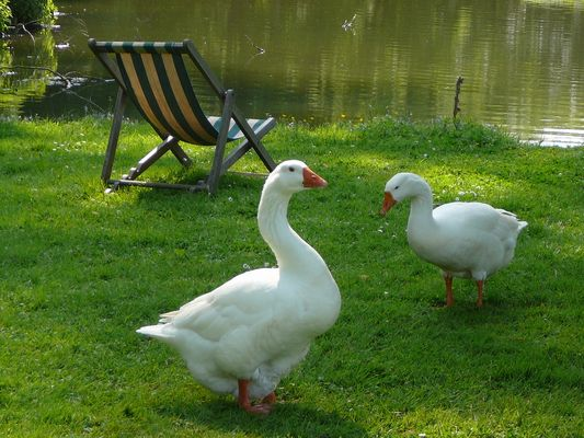 Pause pour les oies