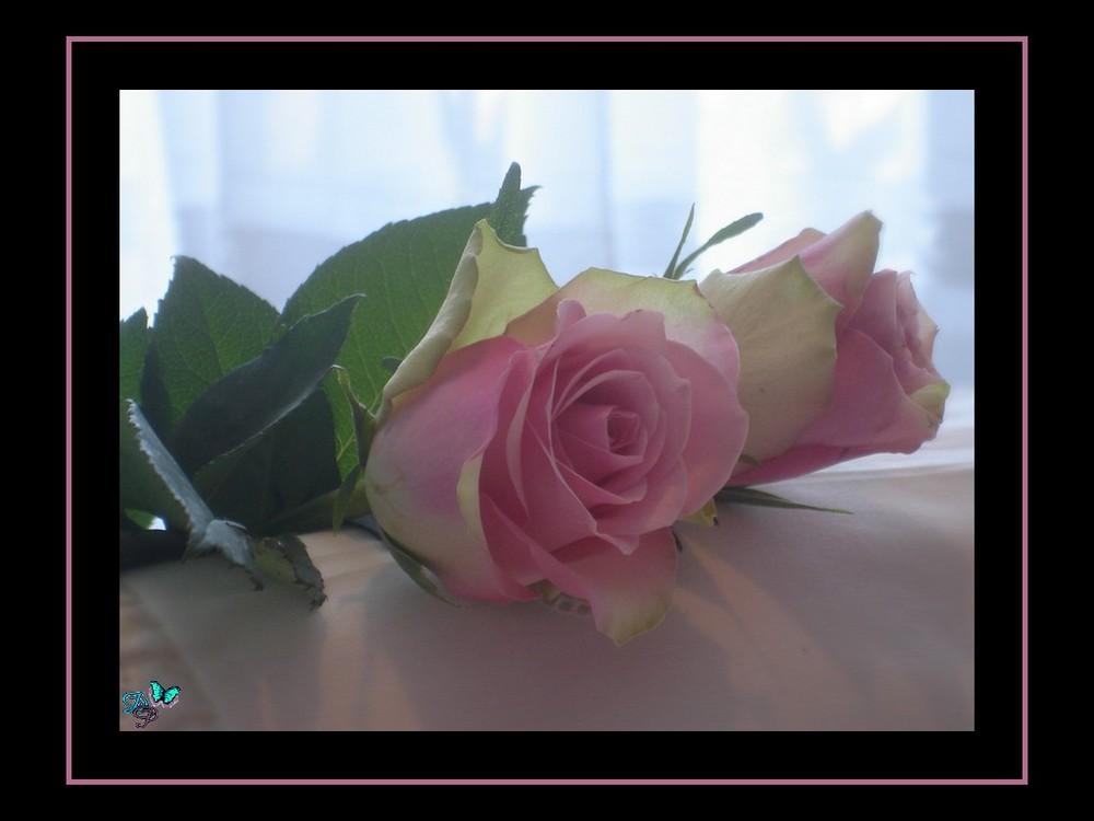 Pause rose
