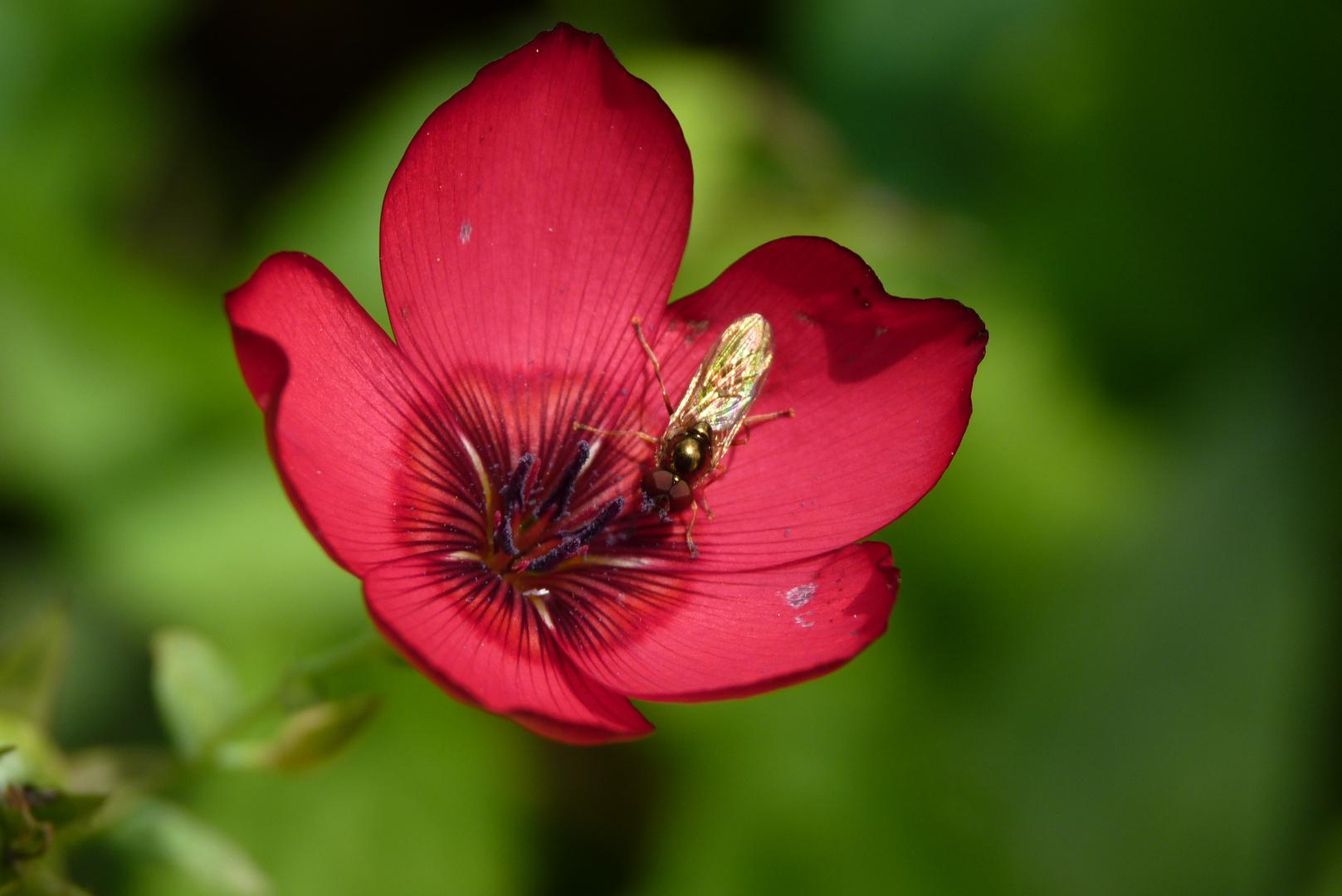 Pause sur une fleur de lin