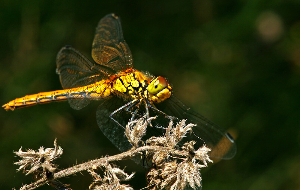 Pausierende Libelle