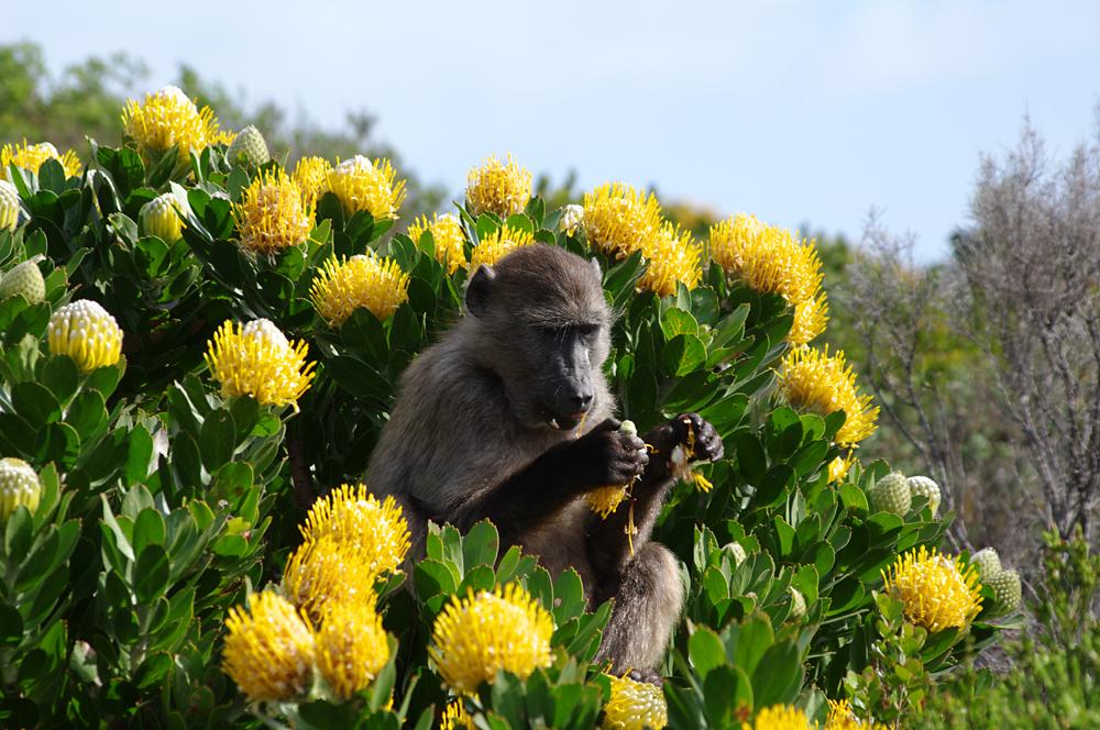 Pavian im Table-Mountain-Nationalpark