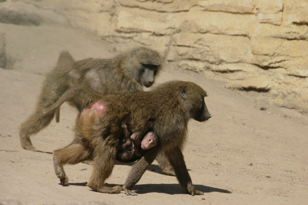 Pavianin mit Baby