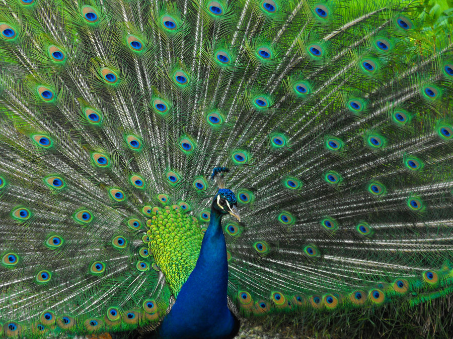 Pavone con ruota foto immagini animali animali allo - Immagini pavone a colori ...
