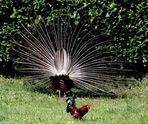 pavone da dietro... con gallo