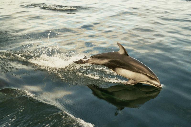 Pazifischer Weißseitendelphin