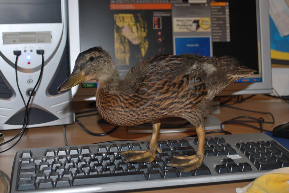 PC-Ente, gewachsen und respektlos