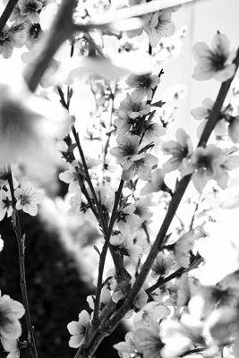 Pêcher en fleur