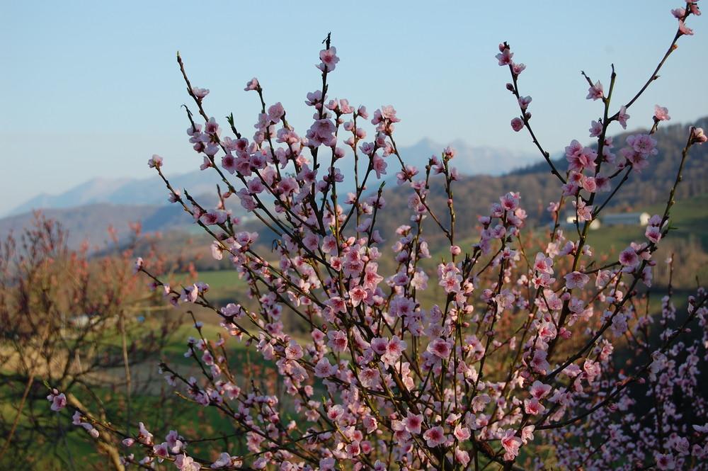 Pêcher en floraison au mois de février !
