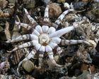 Peachia cylindrica ganz