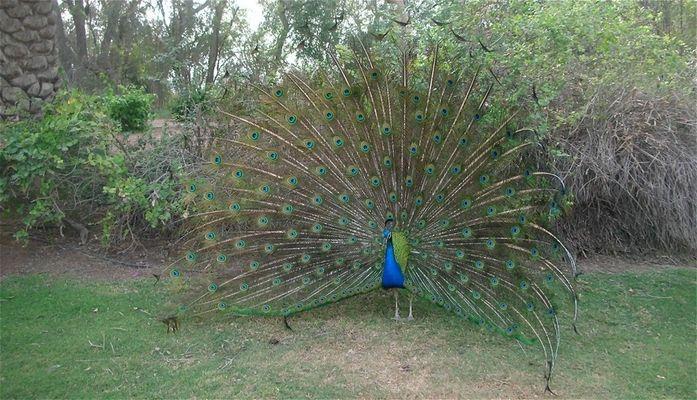 Peacock at Zabeel Palace