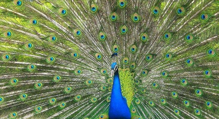 Peacock in Prague garden