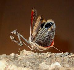 peacock mantis male threat display