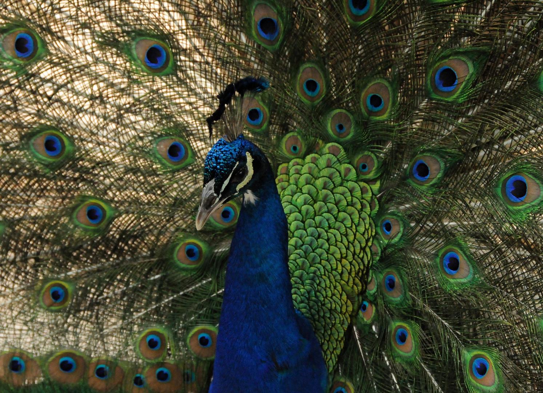 Peacock - Pfau
