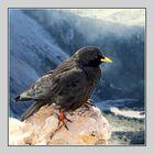 Peak of Dachstein: Alpine Chough, Pyrrhocorax graculus