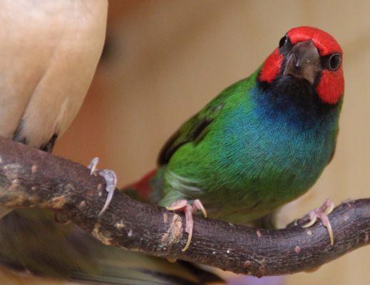Peals Papageiamadine Nr. 2
