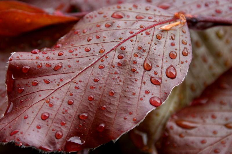 Pearled Leaf