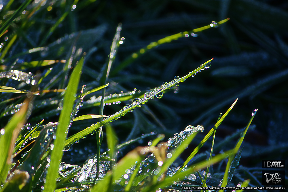 Pearlgrass