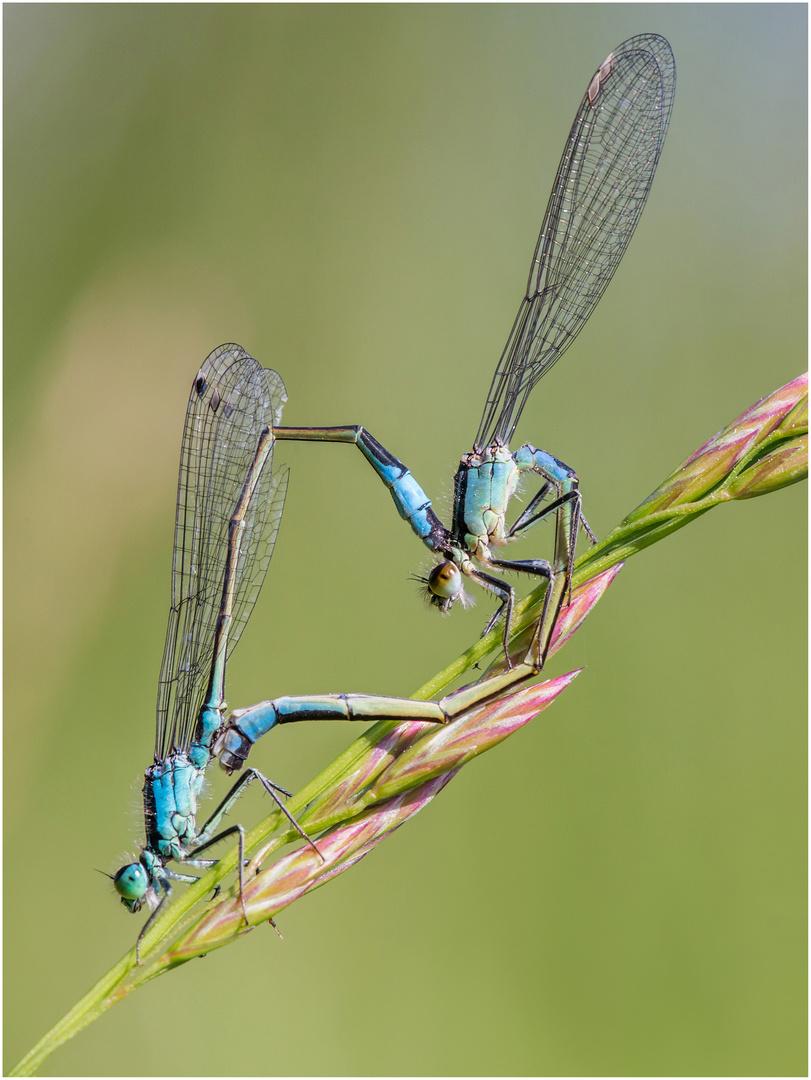 Pechlibellen-Paarung 2