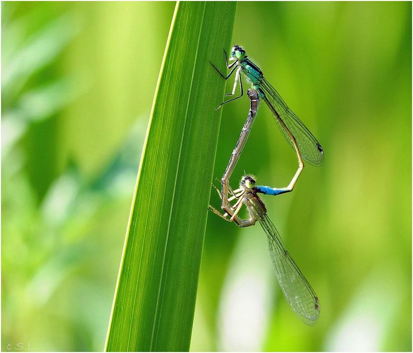 Pechlibellenpaar