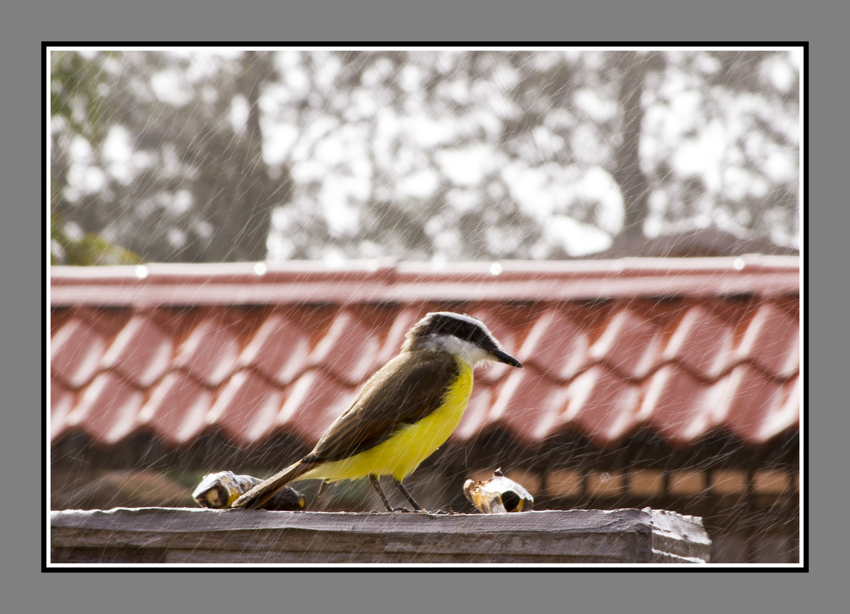 Pecho amarillo comiendo bajo la lluvia
