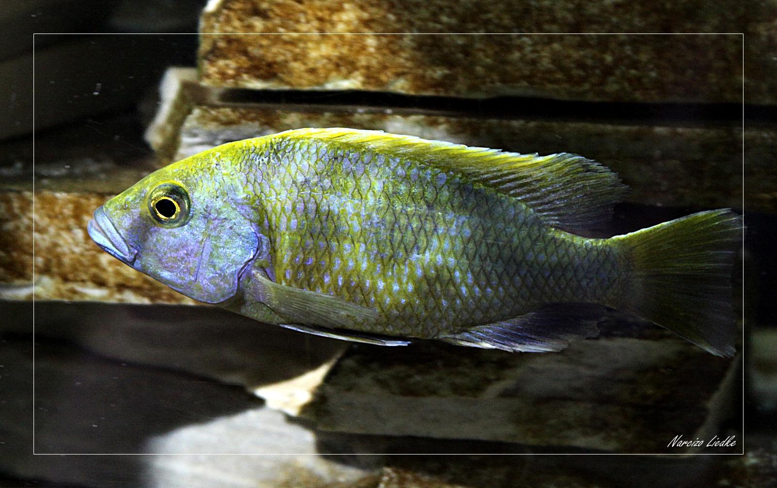 Peixes do meu aquario - Ciclidios I