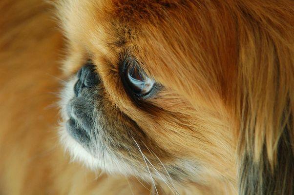Pekingese (Bobby)