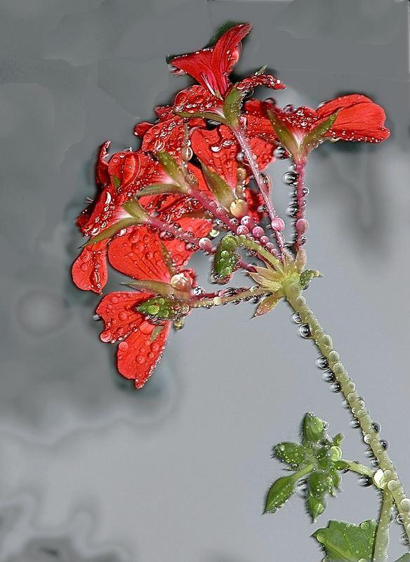 Pelargonie nach dem regen