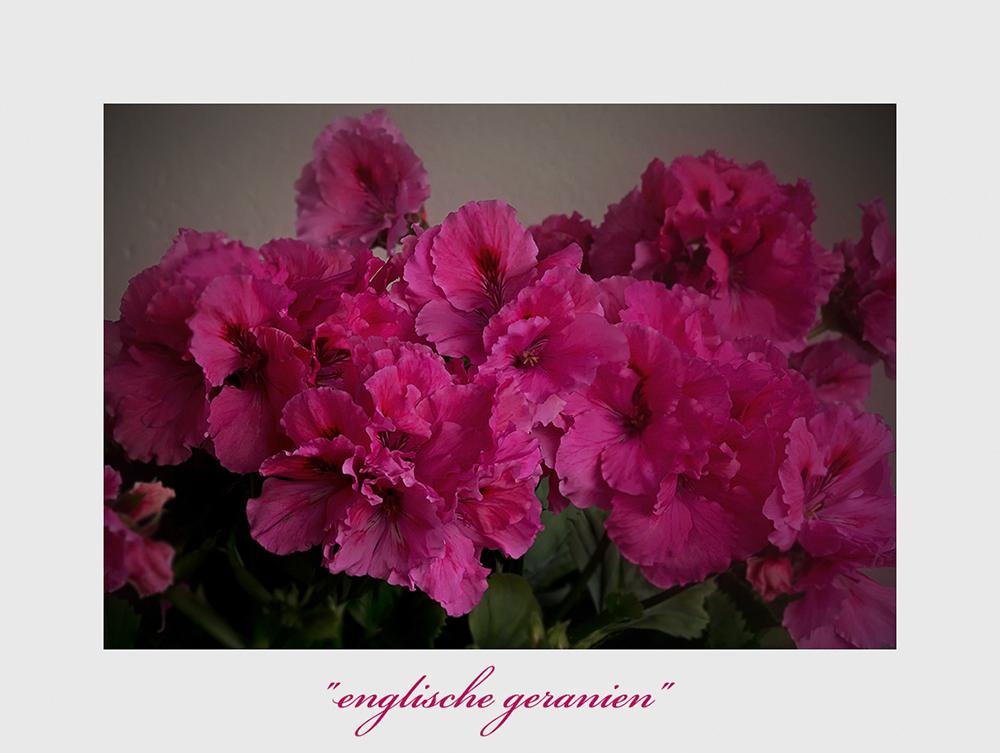 Pelargonium grandiflorum-Hybride